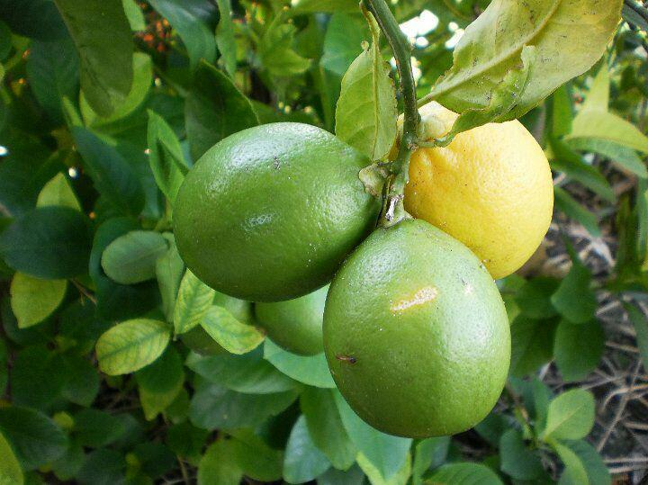 معاون وزیر جهاد کشاورزی اطلاع داد؛ توزیع 100 هزار نهال لیمو پرشین لایم به طور رایگان
