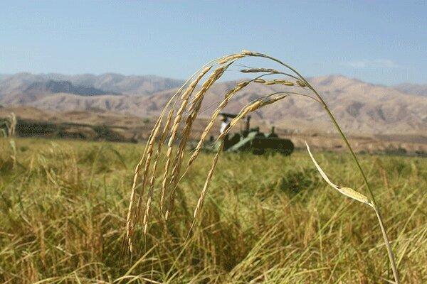 کارشناسان افغان دوره آموزشی ترویج برنج را در محمودآباد فرا گرفتند