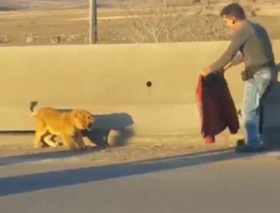 فیلم ، ماجرای توله شیر سرگردان در اتوبان تهران - قزوین چه بود؟